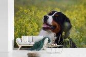 Fotobehang vinyl - Een Berner Sennenhond tussen de gele bloemen breedte 450 cm x hoogte 300 cm - Foto print op behang (in 7 formaten beschikbaar)