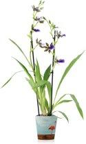 Inca Orchidee Trozy Blue