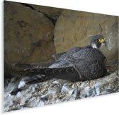 Leuke slechtvalk zit op haar nest Plexiglas 160x120 cm - Foto print op Glas (Plexiglas wanddecoratie) XXL / Groot formaat!
