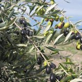 Olijfboom - Cipressino