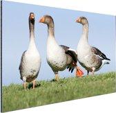 Grauwe ganzen Aluminium 60x40 cm - Foto print op Aluminium (metaal wanddecoratie)