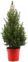 Choice of Green - Picea glauca Conica - dwergspar - kleine kerstboom in rode pot ⌀19 cm - Hoogte ↕ 75 cm