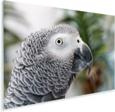 De grijze roodstaart of papegaaiachtige met haar mooie vacht Plexiglas 60x40 cm - Foto print op Glas (Plexiglas wanddecoratie)