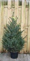 Kerstboom Warentuin Picea Omorika 80 - 100 cm Warentuin Natuurlijk