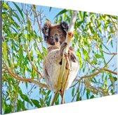 Koala zittend op een boom Aluminium 120x80 cm - Foto print op Aluminium (metaal wanddecoratie)
