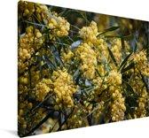 Close up van de gele acacia kleuren Canvas 180x120 cm - Foto print op Canvas schilderij (Wanddecoratie woonkamer / slaapkamer) XXL / Groot formaat!