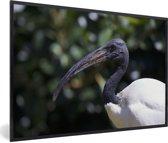 Foto in lijst - Een close up van een witte ibis fotolijst zwart 60x40 cm - Poster in lijst (Wanddecoratie woonkamer / slaapkamer)