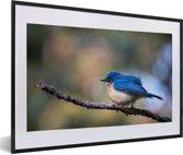 Foto in lijst - Een blauwe Azuurvliegenvanger zit op een takje fotolijst zwart met witte passe-partout 60x40 cm - Poster in lijst (Wanddecoratie woonkamer / slaapkamer)