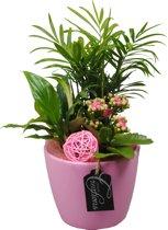 Kamerplant van Botanicly – Arrangement Basic creatie in keramiek rozeincl. bloempot rozeals set – Hoogte: 35 cm