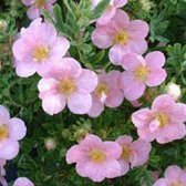 Potentilla Fruticosa Lovely Pink - Ganzerik|Vijfvingerkruid 25-30 cm in pot