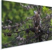 Jonge slangenarend in een boom Plexiglas 180x120 cm - Foto print op Glas (Plexiglas wanddecoratie) XXL / Groot formaat!