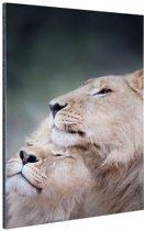 Twee leeuwen close-up foto Aluminium 60x90 cm - Foto print op Aluminium (metaal wanddecoratie)