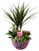 Kamerplant van Botanicly – Arrangement Basis creatie in schaal keramiek rozeincl. bloempot rozeals set – Hoogte: 45 cm