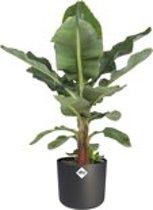 Hee Dat Is Het | musa Dwarf | Bananenplant in ELHO®  b.for soft sierpot zwart ( bananenplant  Musa Dwarf cavendish )