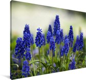 Kleine druifhyacinten Canvas 60x40 cm - Foto print op Canvas schilderij (Wanddecoratie woonkamer / slaapkamer)