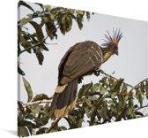 Hoatzin in een boom Canvas 180x120 cm - Foto print op Canvas schilderij (Wanddecoratie woonkamer / slaapkamer) XXL / Groot formaat!