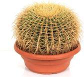 Cactus Echinocactus Grusonii Hoogte 35cm Potmaat 27