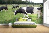 Zwart-witte koeien in weiland Fotobehang 380x265