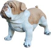 Engelse Bulldog licht bruin wit 40 cm. NIEUW!!!