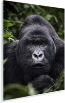 Gorilla kijkt met zijn parelachtige ogen in de camera Plexiglas 60x90 cm - Foto print op Glas (Plexiglas wanddecoratie)
