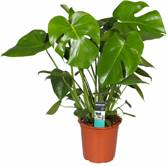 Kamerplant - Monstera deliciosa - ↑ 70cm