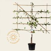 Prunus domestica 'Victoria' - laagstam lei-vorm