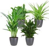 Choice of Green  - Mix van 4 luchtzuiverende planten: Dypsis, Chlorophytum, Nephrolepis Emina, Spathiphyllum - Air So Pure - Kamerplant in ELHO® pot antraciet  ⌀ 12 cm  -  Hoogte ↕25 cm