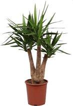 Kamerplant Yucca Elephantipes vertakt 3-5 armen Met Grijze Sieroverpot Ø pot 30cm - ↑ 120cm