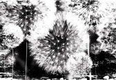 Fotobehang Dandelion Black White | XXXL - 416cm x 254cm | 130g/m2 Vlies