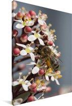 Honingbij op de skimmia bloem Canvas 90x140 cm - Foto print op Canvas schilderij (Wanddecoratie woonkamer / slaapkamer)