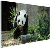Grote panda Glas 180x120 cm - Foto print op Glas (Plexiglas wanddecoratie) XXL / Groot formaat!