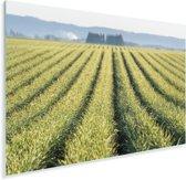 Weergave van knoflookplanten in de Verenigde Staten Plexiglas 180x120 cm - Foto print op Glas (Plexiglas wanddecoratie) XXL / Groot formaat!