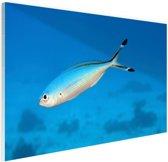 Fusilier vis in de Rode Zee Glas 30x20 cm - klein - Foto print op Glas (Plexiglas wanddecoratie)