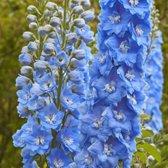6 x Delphinium 'Summer Skies' - Ridderspoor pot 9x9cm