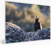 Foto in lijst - Een Californische condor op een rots fotolijst wit 40x30 cm - Poster in lijst (Wanddecoratie woonkamer / slaapkamer)