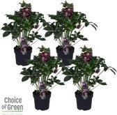Choice of Green - Helleborus Hello Ruby® - set van 4 stuks - tuinplant in kwekers pot ø14 cm - Hoogte ↕ 40 cm