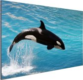 Springende kleine orka Aluminium 120x80 cm - Foto print op Aluminium (metaal wanddecoratie)
