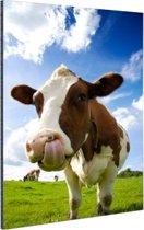 Koe steekt tong uit Aluminium 40x60 cm - Foto print op Aluminium (metaal wanddecoratie)