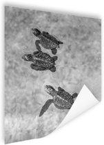 Schildpadden zwart-wit foto Poster 60x90 cm - Foto print op Poster (wanddecoratie woonkamer / slaapkamer) / Dieren Poster