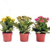 Sterke bloeiende vetplanten (Kalanchoe) voor binnen en buiten per 3 stuks . Planten in verschillende kleuren geleverd.