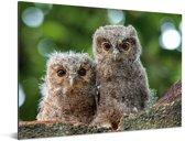 Twee dwergooruilen op een boomtak Aluminium 160x120 cm - Foto print op Aluminium (metaal wanddecoratie) XXL / Groot formaat!