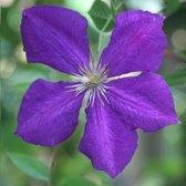 Clematis Jackmanii 3 halen/2 betalen - Klimplant    violet paars