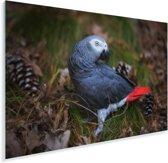 Grijze roodstaart als papegaaiachtige tussen de dennenappels Plexiglas 30x20 cm - klein - Foto print op Glas (Plexiglas wanddecoratie)