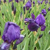 6 x Iris 'Black Knight' - Baardiris pot 9x9cm