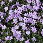 6 x Phlox 'Lilac Cloud' -  Vlambloem pot 9x9cm