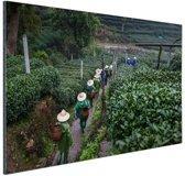 Chinese theeplukkers Aluminium 180x120 cm - Foto print op Aluminium (metaal wanddecoratie) XXL / Groot formaat!