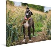 Een Staffordshire Bull Terrier in het hoge gras Canvas 180x120 cm - Foto print op Canvas schilderij (Wanddecoratie woonkamer / slaapkamer) / Huisdieren Canvas Schilderijen XXL / Groot formaat!