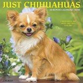 Chihuahua Kalender 2020