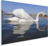 Weerspiegeling van de kleine zwaan in het water Plexiglas 90x60 cm - Foto print op Glas (Plexiglas wanddecoratie)