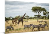 Giraffen en Zebras samen op de savannes van het Nationaal park Serengeti Aluminium 180x120 cm - Foto print op Aluminium (metaal wanddecoratie) XXL / Groot formaat!